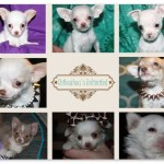 Chihuahua S Unlimited Home