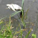 cisnes muertos