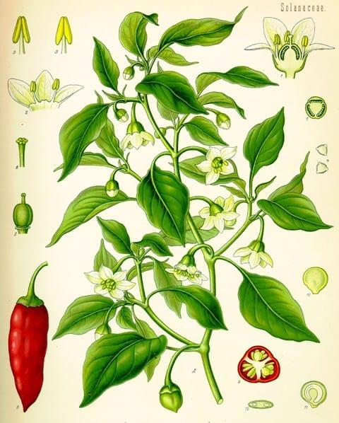 Köhler, Franz Eugen: Köhler's Medizinal-Pflanzen