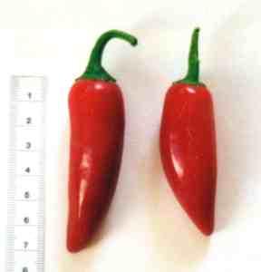 Jalapeño. Typischerweise als Sorte behandelt, eigentlich ein Fruchttyp - und hier mit zu viel Spitze und zu wenig Bauchigkeit um wirklich der Fruchttyp Jalapeño zu sein...