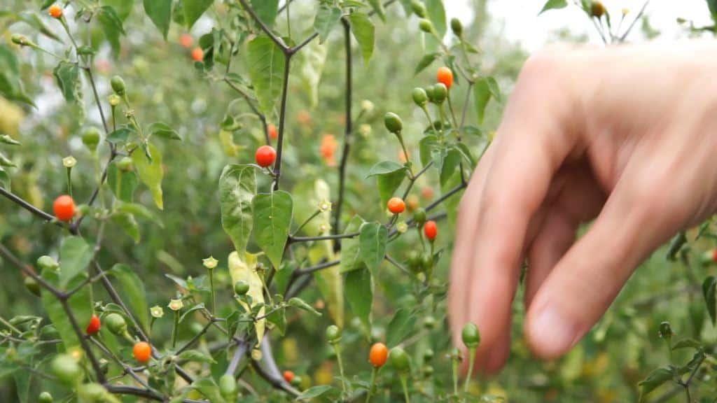 Auf der Suche nach dem perfekten Chilli