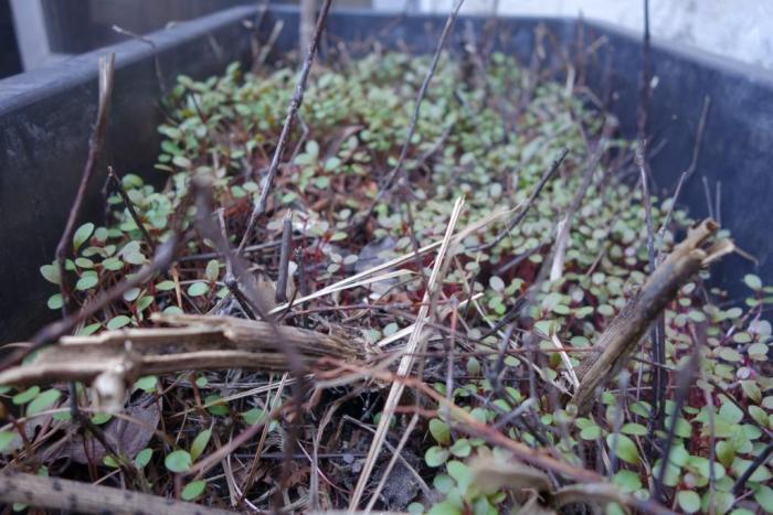 Waterpepper seedlings