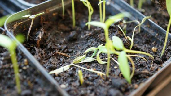 Chilli, germinated and damped off