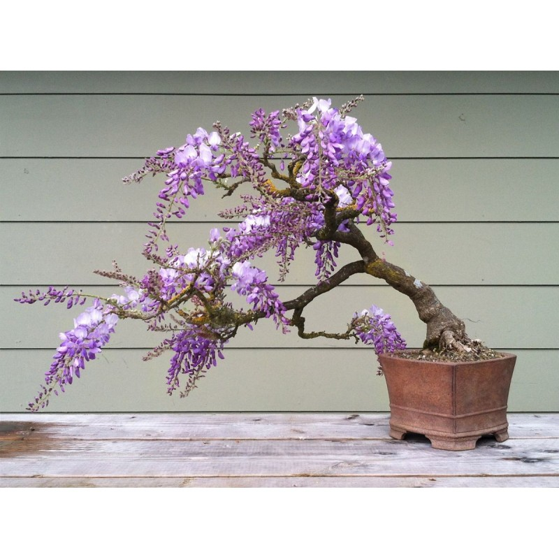 Jacaranda Mimosifolia Bonsai Seeds - Purple Bonsai Tree ...