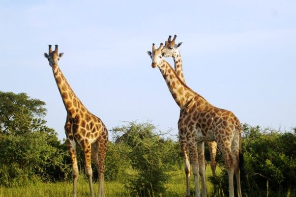 Giraffes in the plains of the park.