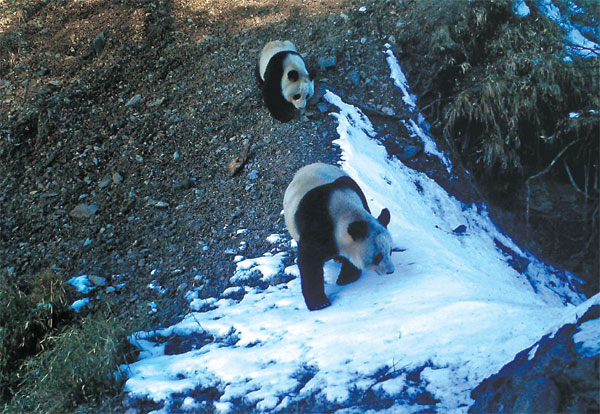 A Panda And Her Cub Wander In The Anzihe Nature Reserve In