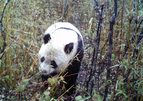 Giant panda spotted in the wild in NW China