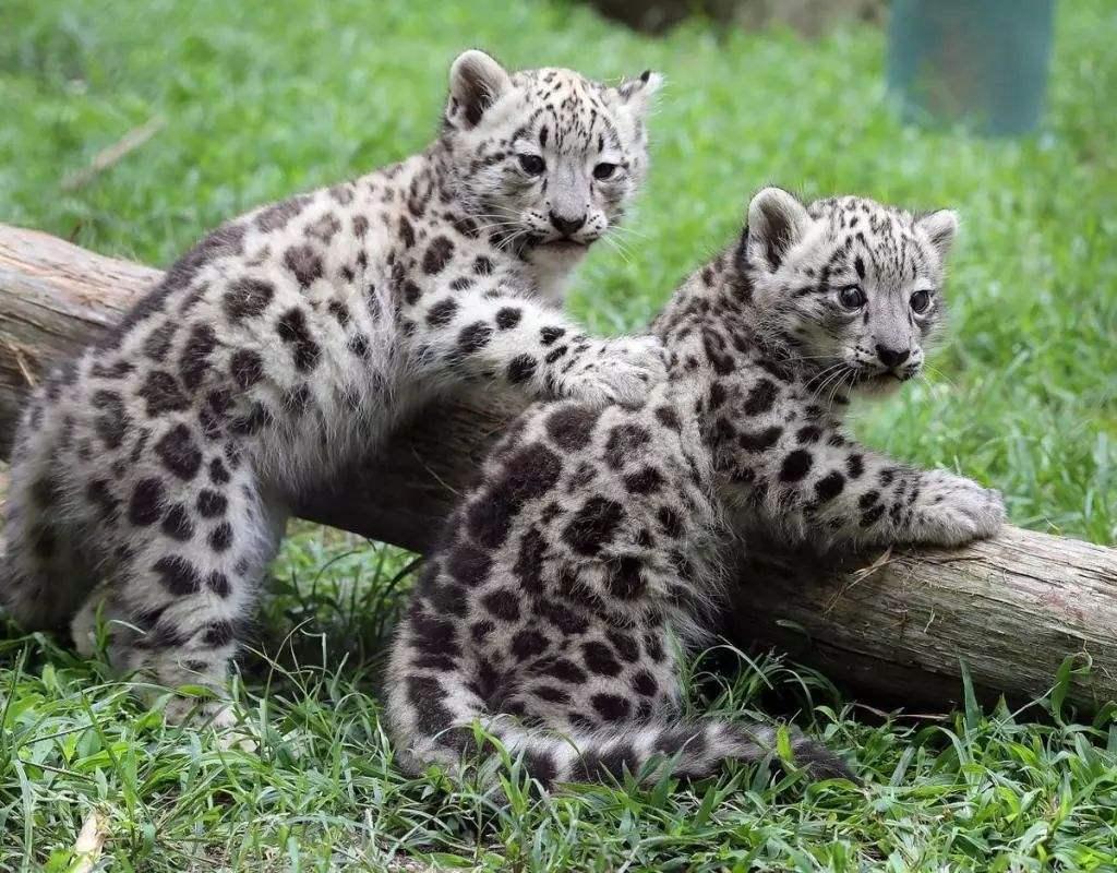 Gobierno chino y WWF inician proyecto de protección de leopardo de las nieves en Xinjiang