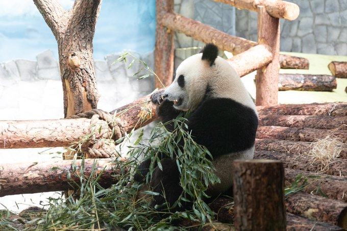 Zoológico de Moscú comienza transmisión en vivo por internet de vida de pandas