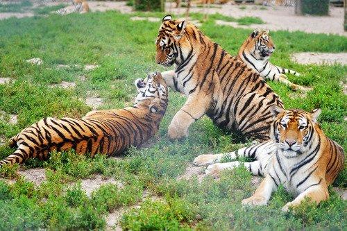 Sistema de vigilancia chino registra más de mil apariciones de tigres siberianos y leopardos del Amur
