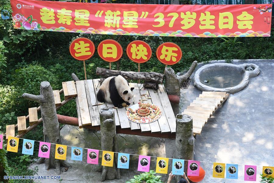El panda gigante más longevo en cautiverio cumple 37 años
