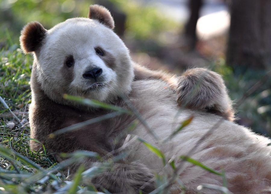 El único panda gigante marrón cautivo del mundo logra con éxito apareamiento natural