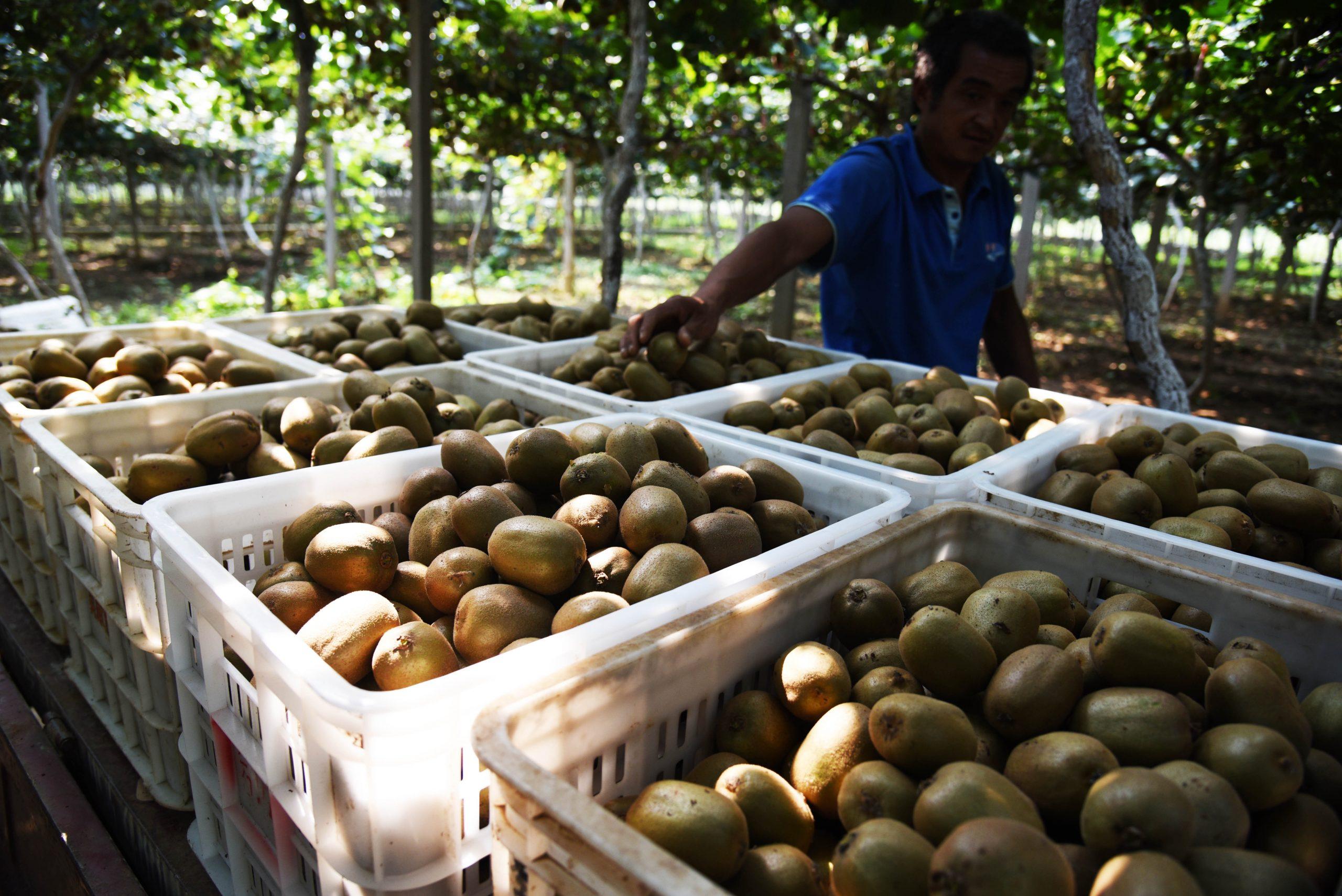 China envía primera exportación de kiwi a Sudamérica
