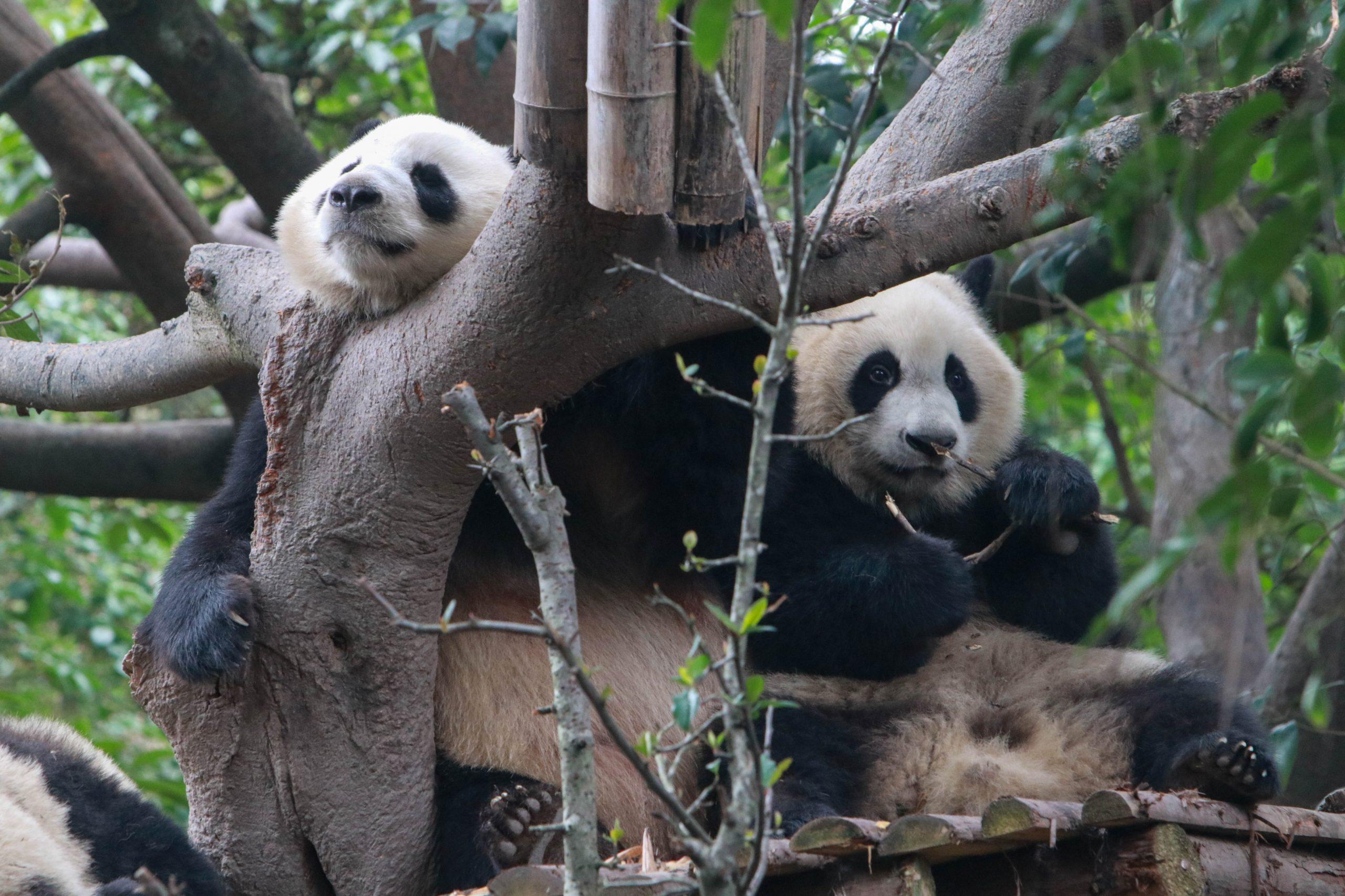Pandas dejan Canadá para regresar a casa por causa de escasez de bambú