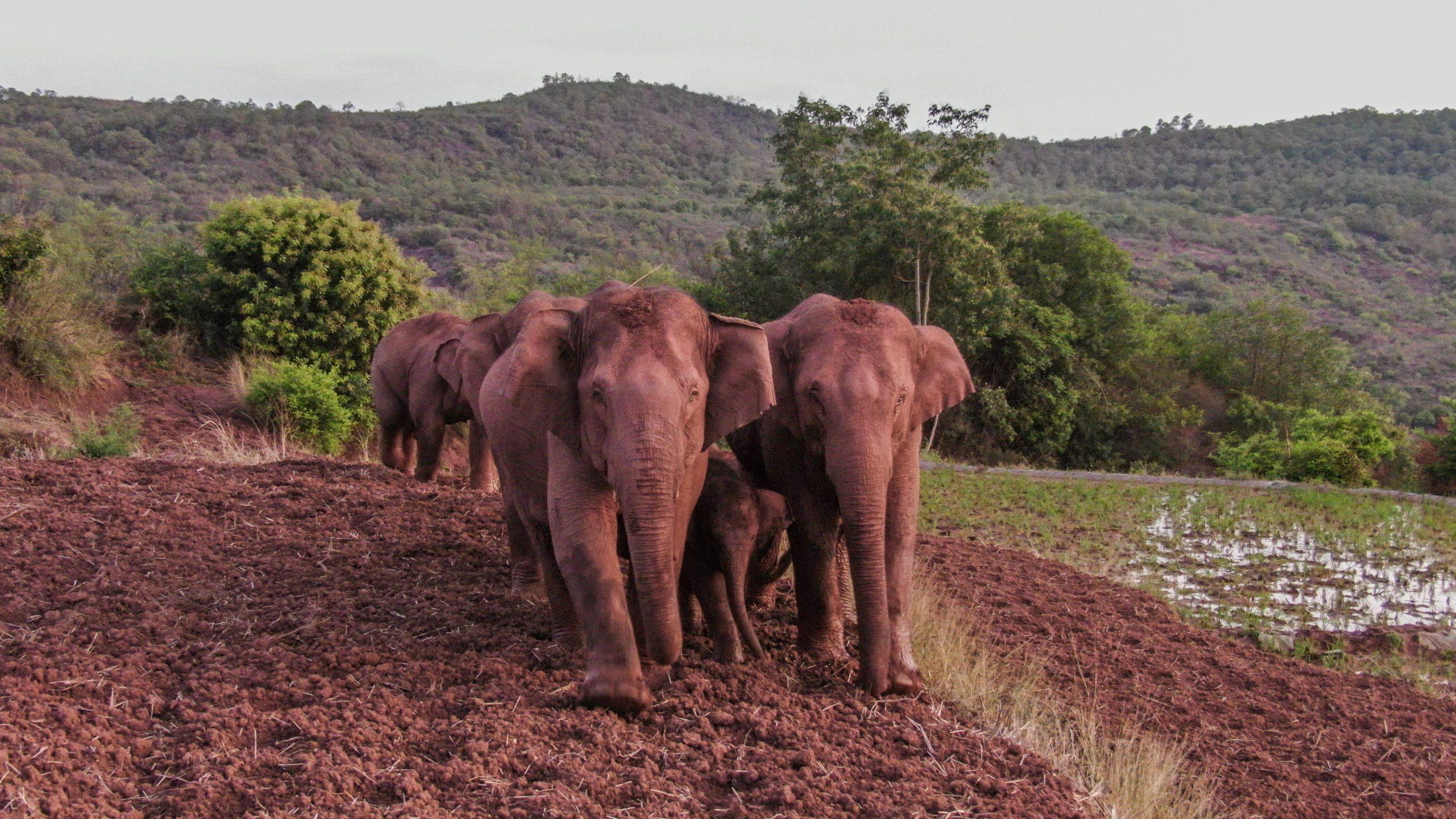 Manada de elefantes errantes de China avanza hacia suroeste