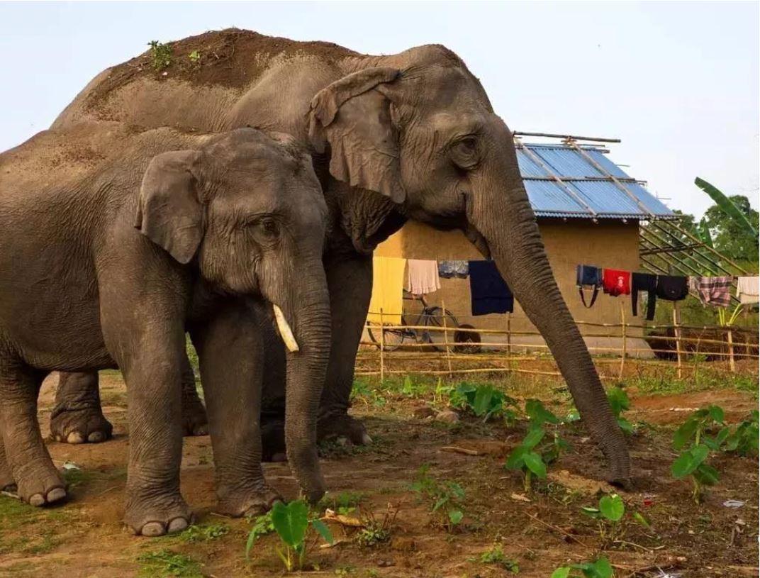 Manada de elefantes errantes de China es cada vez más activa