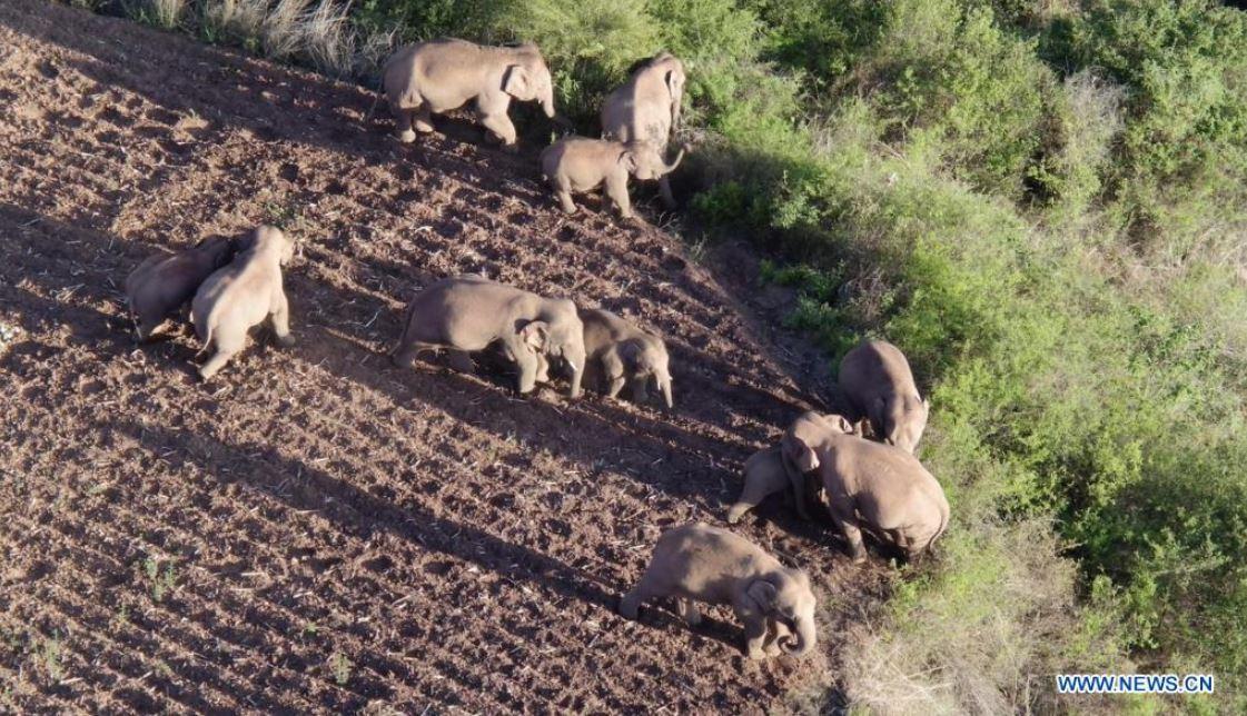 Manada de elefantes errantes de China se desplaza hacia el sur