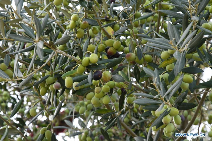 Aceite de oliva de provincia china de Gansu entra al mercado internacional