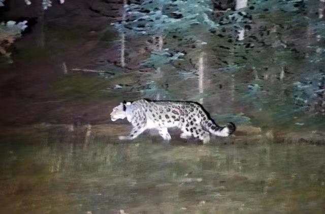 Liberado en naturaleza leopardo de las nieves rescatado