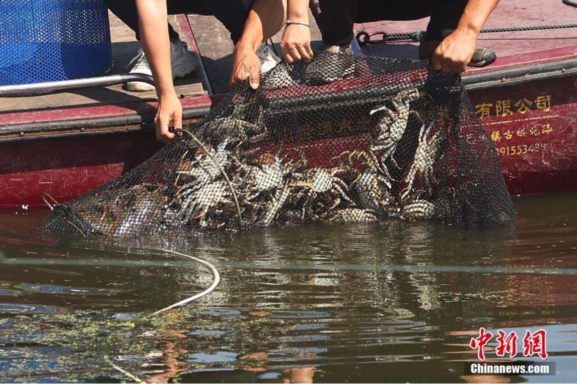 Comienza temporada de cosecha del cangrejo más demandado en China
