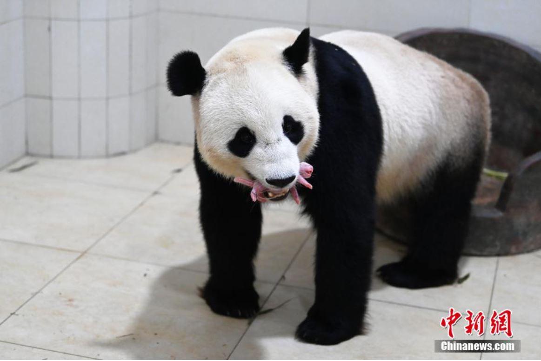 Nace un cachorro de panda gigante en suroccidental provincia china de Sichuan
