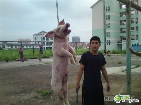 A pig strung up by a rope while a Chinese student stands by with a metal pole.