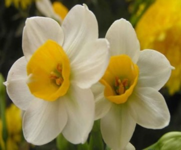 Top 10 Flowers In Chinese Culture The narcissus is known in Chinese language as the    water goddess     The  flower is said to have occult value that it can rout out evil spirits
