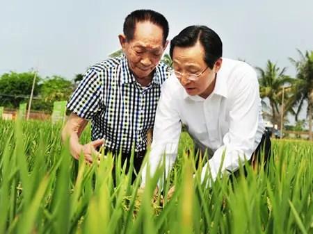 Du riz planté dans de l'eau salée