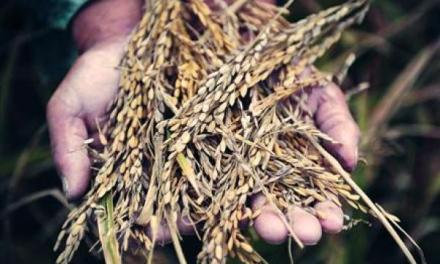 Le riz hybride chinois populaire en Ouganda