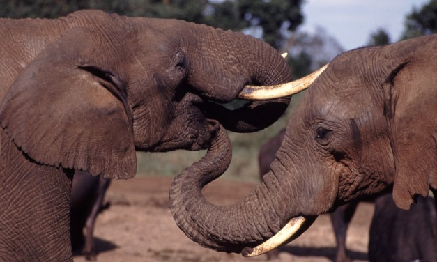 Interdiction totale du  commerce de l'ivoire d'ici la fin de 2017