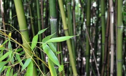 Le bambou, une plante essentielle dans la vie quotidienne