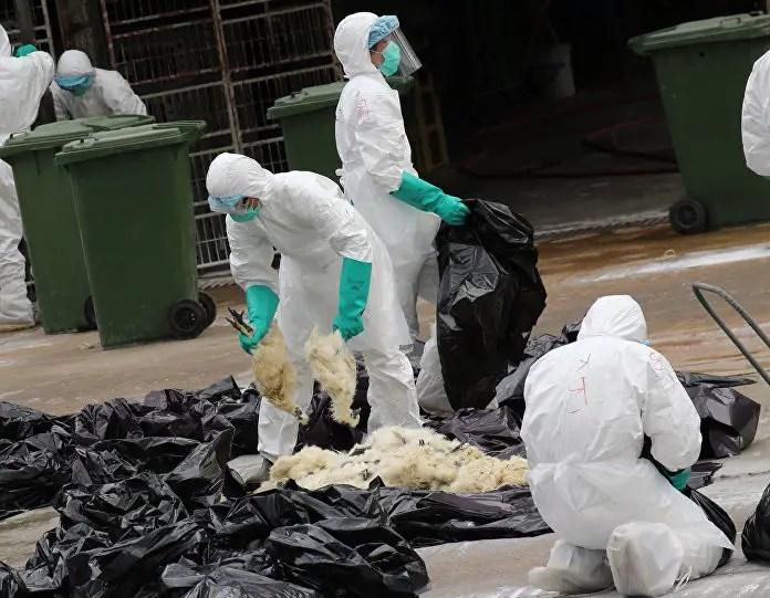 Grippe aviaire : les pouvoirs locaux se préparent