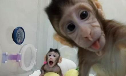 Clonage : un singe cloné avec des cellules non reproductrices