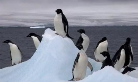 Pas touche aux Pingouins