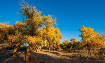 Plus de 2 millions de yuans alloués pour protéger des arbres anciens