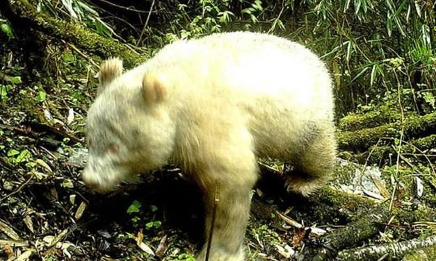 Découverte d'un panda albinos au Sichuan