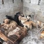 Risque sanitaire au festival de viande de chien de Yulin