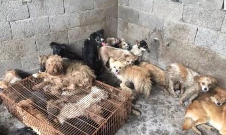 62 chiens sauvés du Festival de Yulin