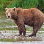 20 000 ours sont sacrifiés pour «soigner» le coronavirus