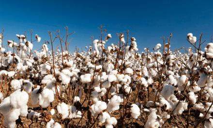L'Australie enquête sur des exportations modifiées de son coton vers la Chine
