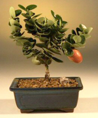 Natal Plum Bonsai Tree