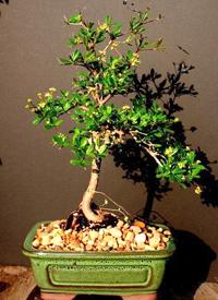 Olive bonsai tree olea europaea for How to make an olive tree into a bonsai