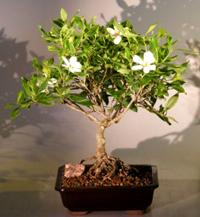 Gardenia Bonsai ...