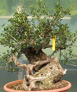 Bonsai Tree Care   Chinese Bonsai Garden