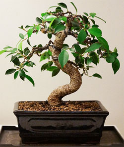 Fabulous How To Wire Bonsai Tree The Right Way Wiring 101 Akebretraxxcnl