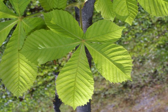 Horse Chestnut Leaves : Chinese Medicine Living