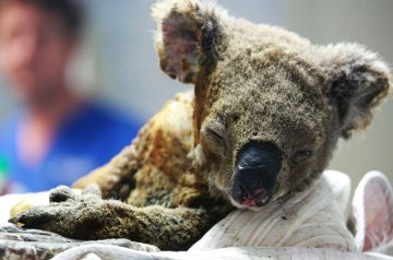 The Fire Victims Who Cannot Flee: Australian Koalas