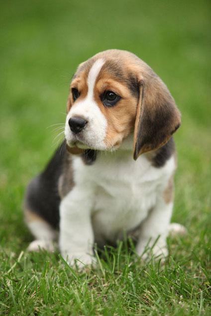 Chiots Beagle A Vendre Vente De Chiots Beagle Eleveur