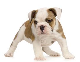 Acheter Un Chiot Bulldog Anglais La Vente Chez Chiots