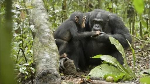 Disneynature Chimpanzee Oscar